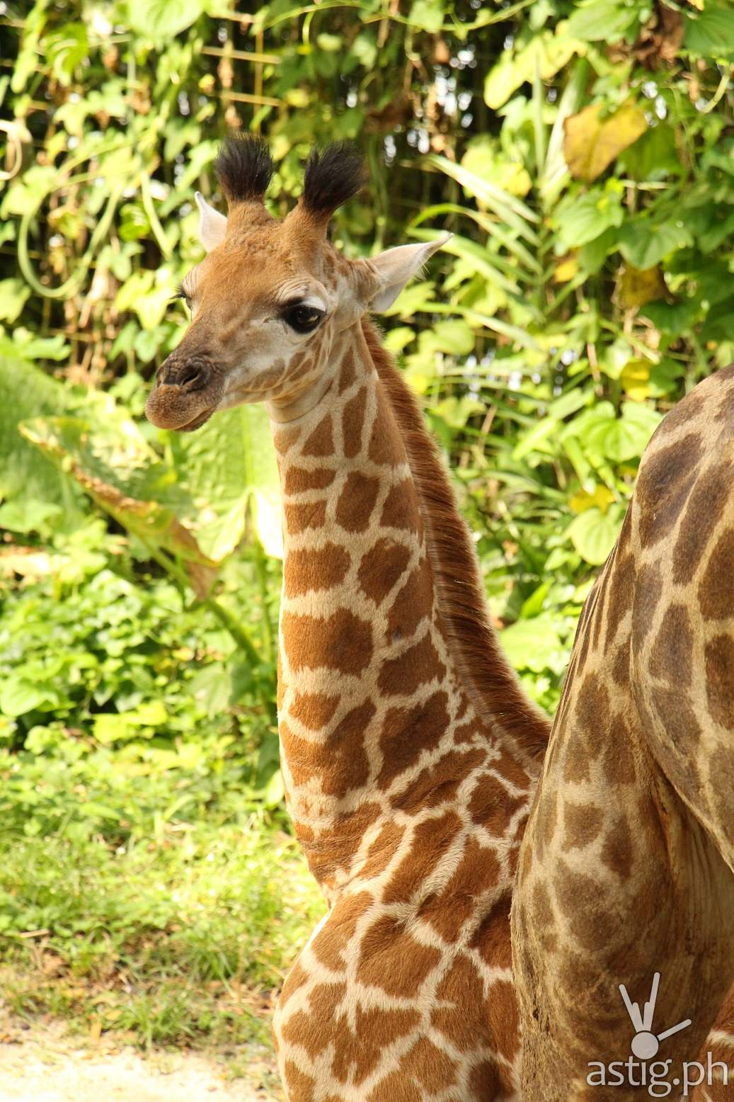 Singapore Zoo SG50 giraffe calf