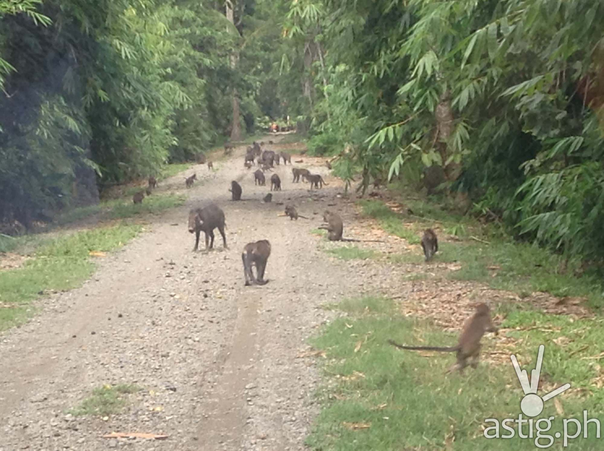 Long-tailed macaque monkeys and wild boars greet guests at Banana Beach doing the forest tour