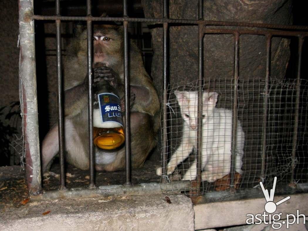 Men, women, and even chimps love San Mig Light (source: brommel.net)